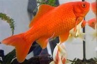 Peshq te kuq