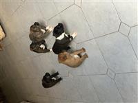 Klysh pitbulli