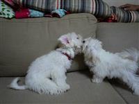 Maltez Puppies