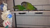 papagall Green Check Conure