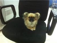 Qen i rraces Chihuahua