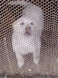 Kulisha stani 1.5 muajsh cift super qen agresiv