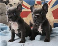 Puppies franceze Bulldog