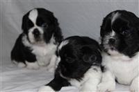 Adoleshente Shih Tzu Puppies