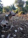 Dogo Argentino mashkull. Rrac e paster 100%