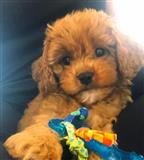Stunning Golden Cavapoo Puppies -