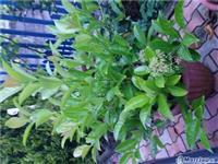 Lule natyrale qendrojn  jeshile gjith vitin.14eu..