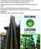 Paulownia  Druri fitimprures