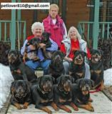 Pure Breed Home Trained Rottweiler Puppies.