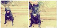 Pit Bull American Terrier
