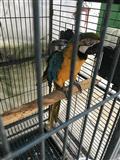 Shes papagall Lexo me vemendje