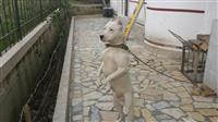 Dog argentinas 16 muajsh