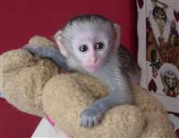 Majmunët e Bukur Capuchin për shitje