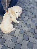 Labrador-Gold-retriver-femer