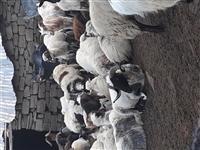 Shiten nje 100 krer dele