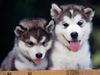 Puppies Siberian Husky