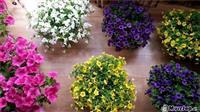 Lule Varse per kopsht
