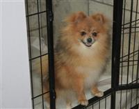 Sweet Pomeranian Puppies available