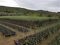 Fidane ulliri,agrume,frantoj,lecino te gjitha lloj