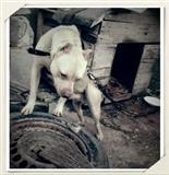 Shitet kelysh american pitbull fmr i paster