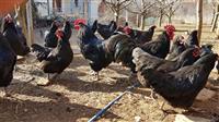 Shes 9 pula dhe 3 gjela raca Australorp