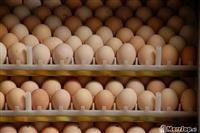 Zogj pule inkubatori ITALIAN