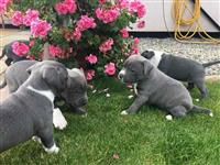 Puppies Blue Staffordshire