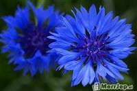 Centaurea cyanum l *lule ciani ) *kokoceli*