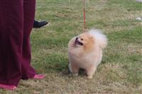 Bukur Kc Regjistruar White Pomeranian Puppies