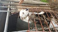 Dog argjentino