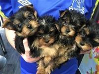 Puppies mrekullueshëm Yorkshire Terrier për Shitje