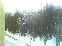 Fidanishte Pogradec Guras