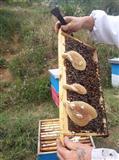 Trregtojm Mjalt Geshtenje edhe qumesh Blete
