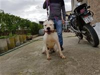 Dog Argentino Cift