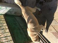 qen kangal turk