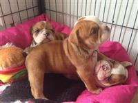 Puppies mrekullueshëm bulldog në dispozicion