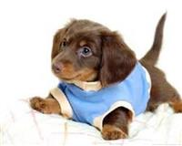 Puppies Dachshund