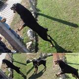 Redwailer / pitbull