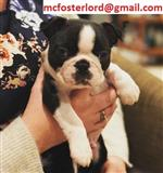 Golden Boston Terrier Puppies
