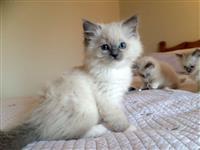 Kittens rregjistruar Ragdoll