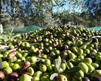 Vaji ulliri  100% natyral me shumice dhe pakic