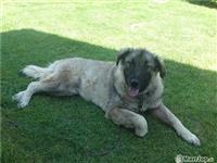 Qeni i sharit i gjinis femrore mosha 15 muaj