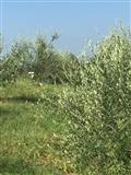 Shitet toke e mbjelle me ullinj ne Babrru Tirane