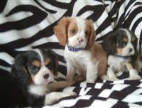 Puppies King Charles Cavalier