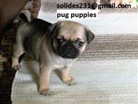 PUG PUPPIES READY FOR NEW HOMES