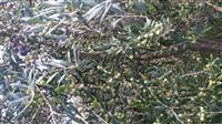 Vaj ulliri