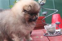 Proper Teddy Bear Face Pomeranian For Sale