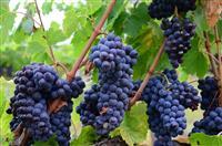 Rrush ,shesh i zi dhe shesh i bardhe