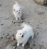 2 qen femer mashkull Mini spitz
