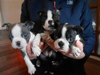 Puppies Boston Terrier